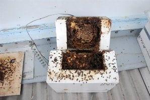 Native Beehive Split (stingless)