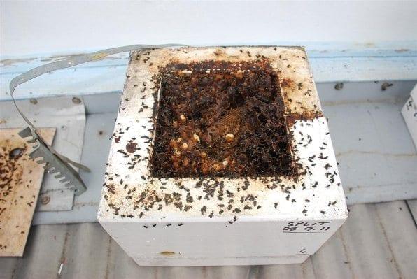 Native Beehive (stingless)