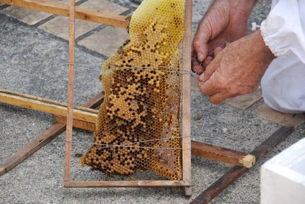 Tying brood comb into a standard hive frame for European bees new home