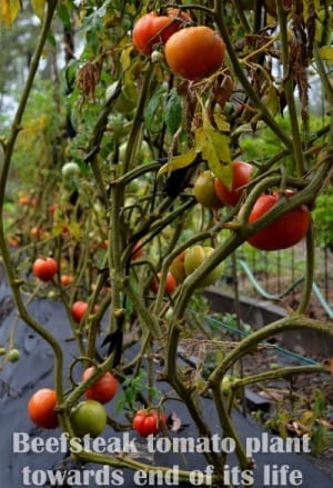 beefsteak tomato plants on trellis towards end of life