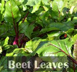 beetroot patch leaves