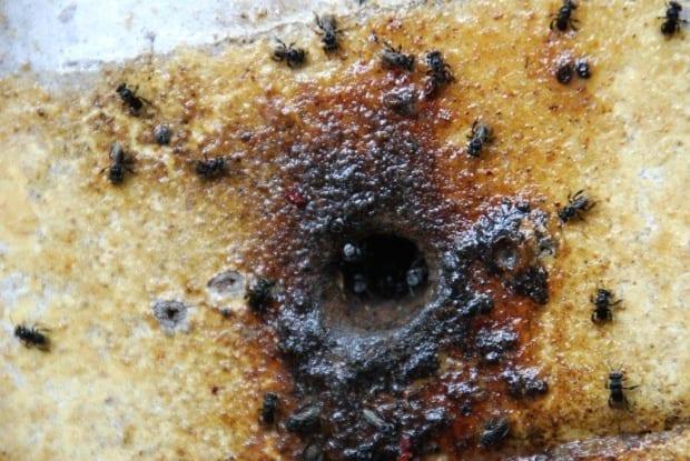 carbonaria native bees under attack 620