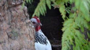 Light sussex chicken peaking behind a hollow tree trunk