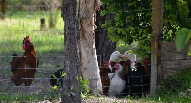 chickens and ducks near fence under small bush