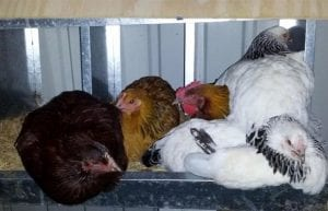 Hens squashed into nesting boxes for roosting at night
