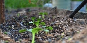 cucumber seedlings in garden