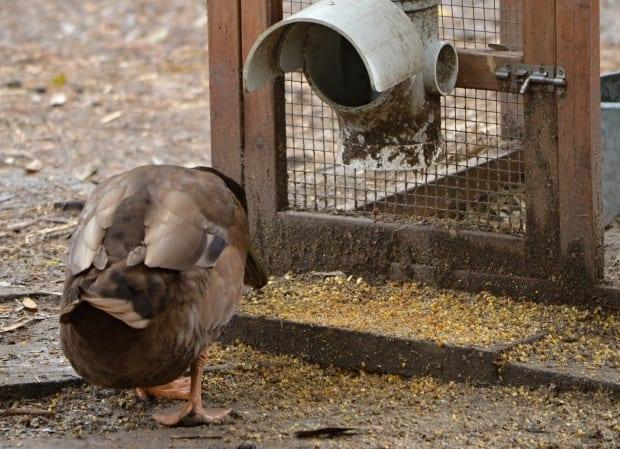 duck cleans up the mess under chicken feeder