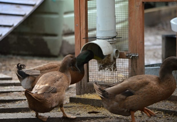 ducks using pvc tube chicken feeder