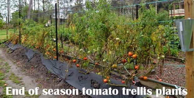 end of season tomato plants on a line trellis