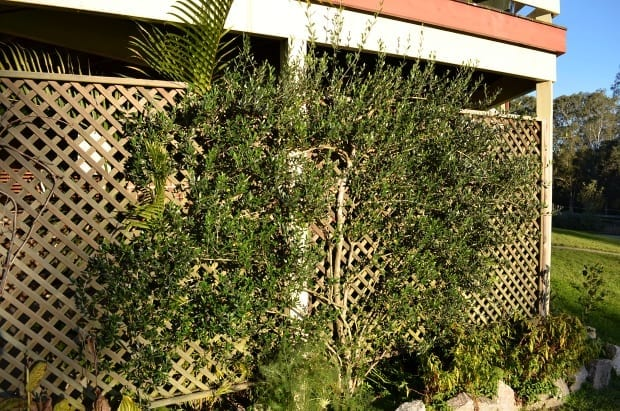 espalier olive tree with herbs underneath