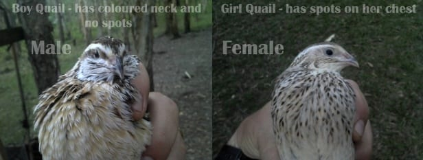 difference between a female and male coturnix quail