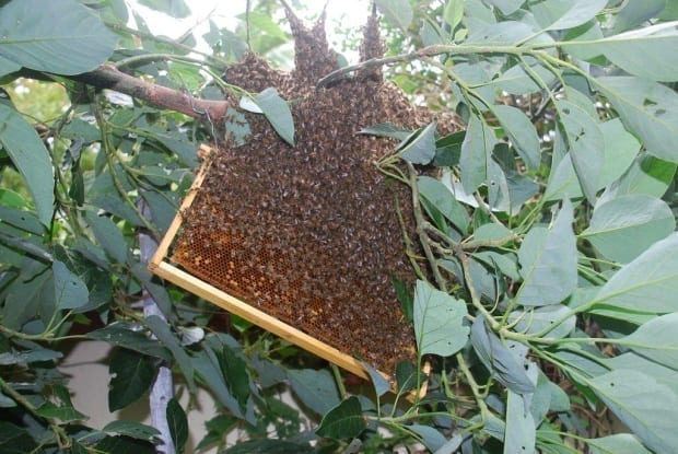 frame of brood suspended under the swarm, bees beginning to cover the brood
