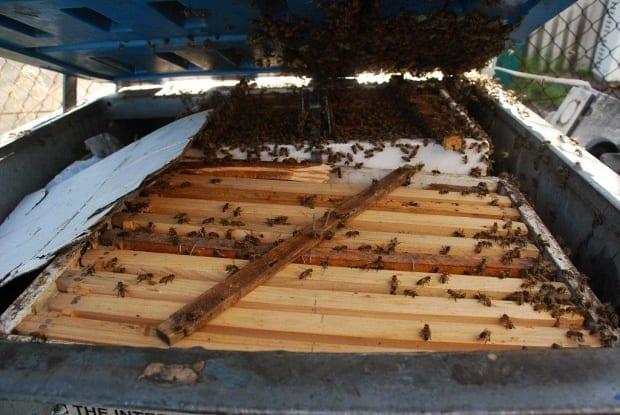 framed brood of European bees at rear of bin for nest transfer