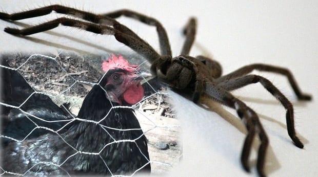 huntsman-spider chicken