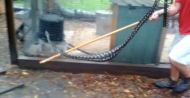large python quail pen
