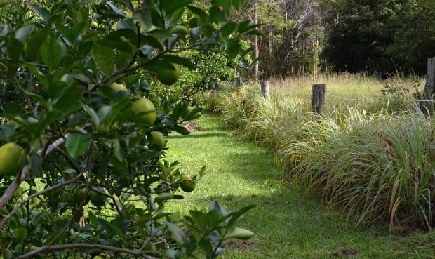 lemongrass down fenceline citrus trees