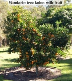 mandarin tree laden with fruit