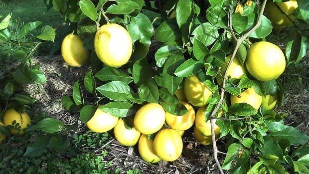 meyer lemon full fruit so many weigh tree down