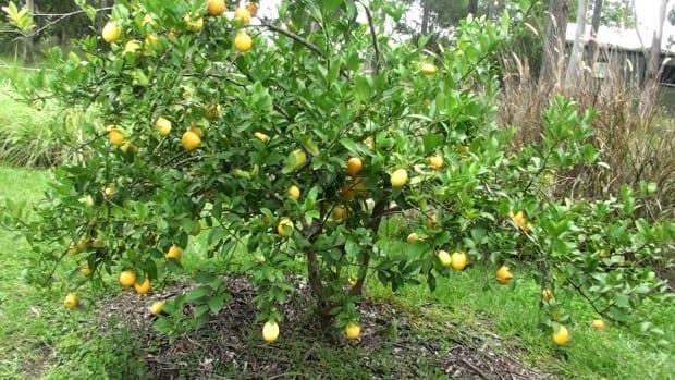 meyer lemon tree in full fruit