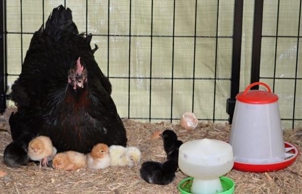 mother hen with chicks chicken feeders