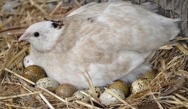 quail coturnix japanese sitting on eggs