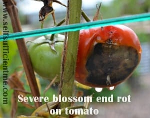 severe blossom end rot on tomato