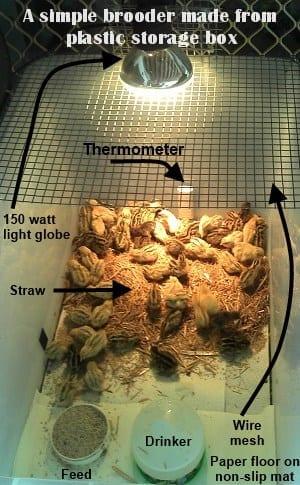 storage box brooder setup for Quail chicks