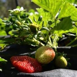 strawberries ripe and unripe