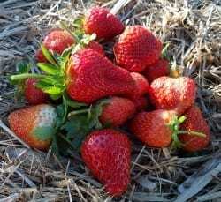 Strawberries on straw freshly picked from the garden