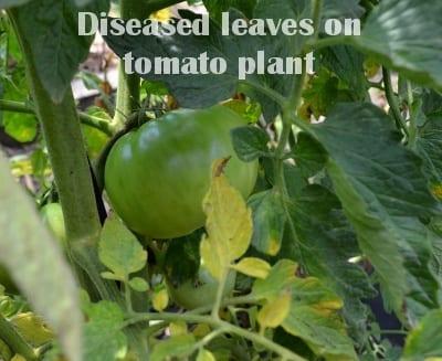 diseased leaves on tomato plant
