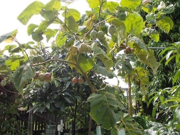 Tree Tomatoes or tamarillos
