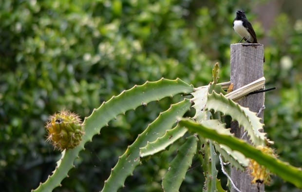 willy wagtail bird on dragon fruit cactus
