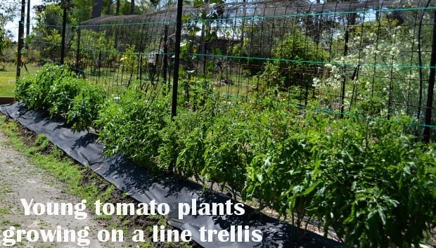 young tomato plants growing on a post-to-post line trellis