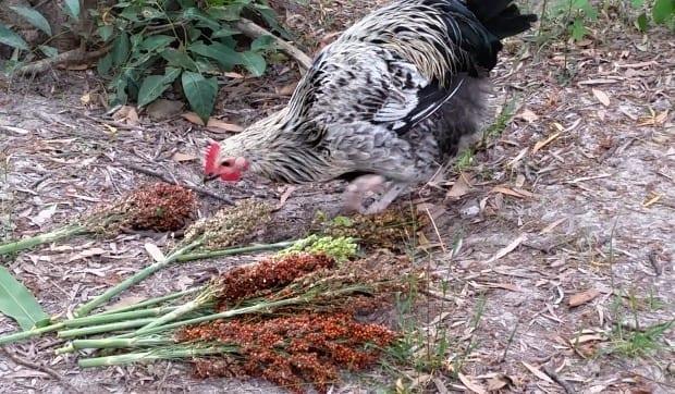 chicken eating sorghum seed head plant 620